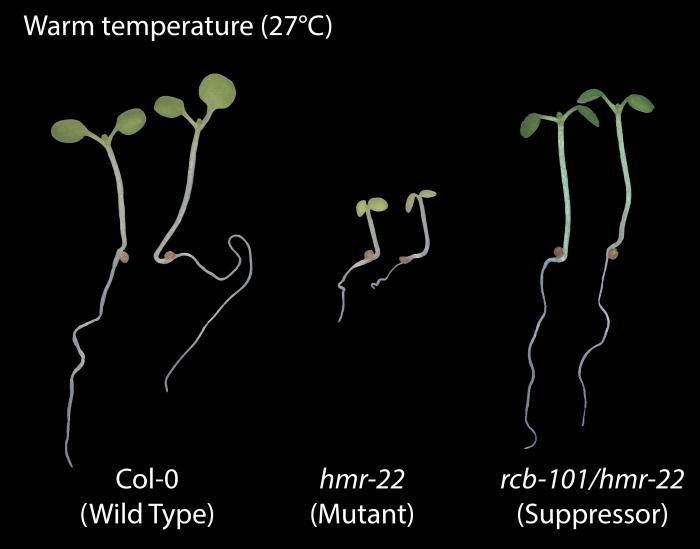 Сравнение растения дикого типа, воспринимающего температуру, к мутанту, который нечувствителен, и третьему растению, которое снова мутировало, чтобы восстановить температурную чувствительность. Инфографика: Калифорнийский университет